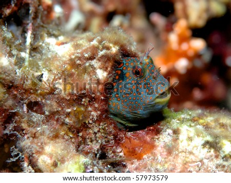 Tesselated Blenny-Hypsoblennius invemar, picture taken in Broward County, Florida - stock photo