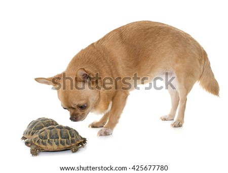 Testudo hermanni tortoise and chihuahua on a white isolated background - stock photo