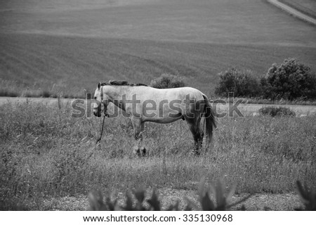 Tethered horse in the field at the evening dusk (Portugal). Selective focus on the horse. Blurred plants at foreground. Aged photo. Black and white. - stock photo