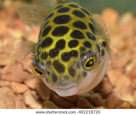Tetraodon stock images royalty free images vectors for Types of puffer fish