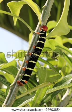 Tetrio Sphinx Caterpillar native to Antigua Barbuda in the Caribbean Lesser Antilles West Indies eating a leaf on a frangipani tree.