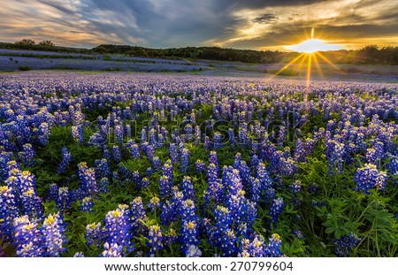 Texas bluebonnet field in sunset at Muleshoe Bend Recreation Area - stock photo