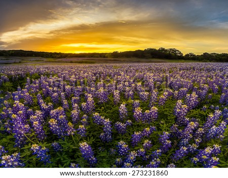 Texas bluebonnet field in sunset at Muleshoe Bend Recreation Area. - stock photo