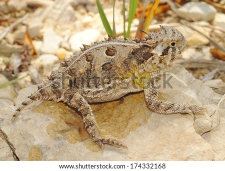 Texas Horned Lizard, Phyrnosoma cornutum , also known as the horny toad of the American southwest deserts - stock photo