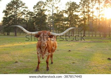 Texas Long Horn Cow Sunset - stock photo