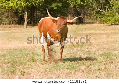 Texas longhorn bull plowing up earth with his hoof as he prepares to charge. - stock photo