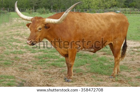 Texas Longhorn bull standing in ranch land