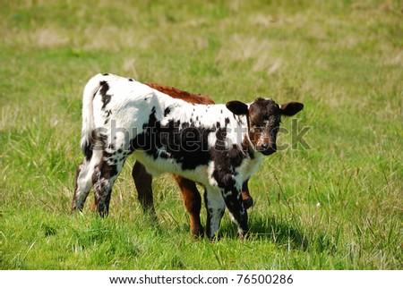 Texas Longhorn calf in a field of green in the Umpqua Valley near Roseburg Oregon - stock photo