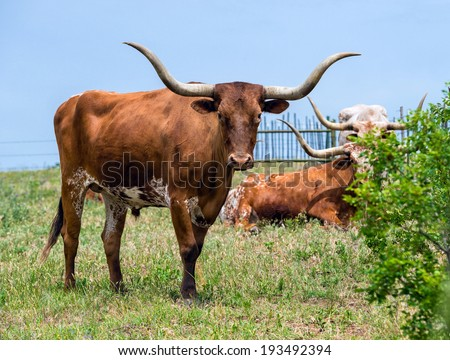 Texas longhorn cattle grazing on green pasture - stock photo