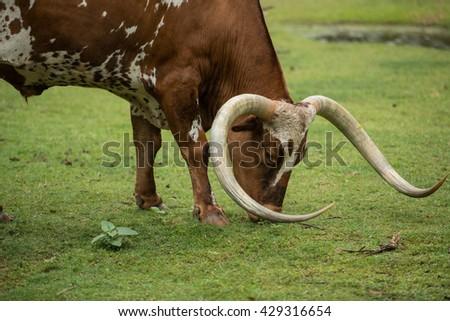 Texas longhorn closeup - stock photo