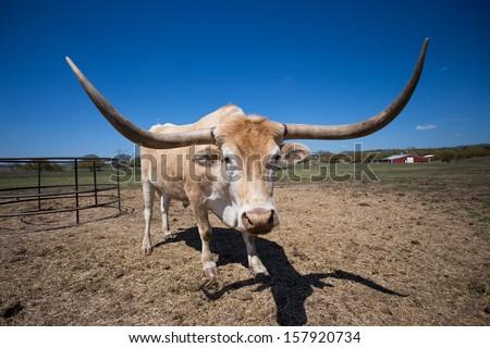 Texas Longhorn Steer near Smithville Texas - stock photo