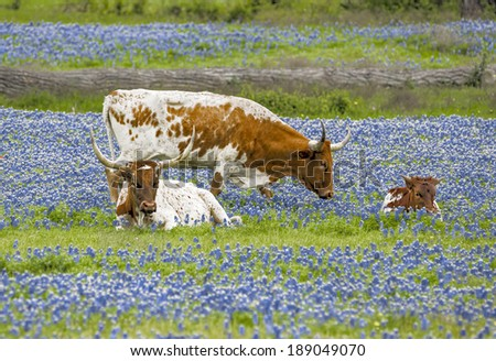 Texas Longhorns and young in bluebonnets - stock photo