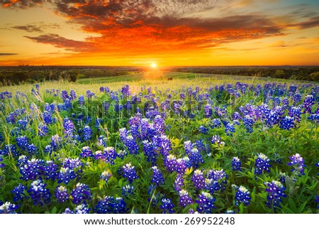 Texas pasture filled with bluebonnets at sunset - stock photo