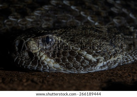 Texas rattle snake cotalus Atrox close up  - stock photo