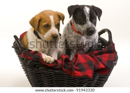 Texas Red and Blue Heelers Brother and Sister Puppies. - stock photo