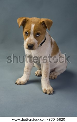 Red heeler Stock Photos, Illustrations, and Vector Art