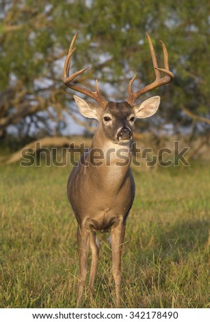 Texas White-tail Deer Buck