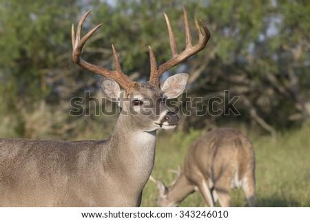 Texas White-tail Deer Buck  - stock photo