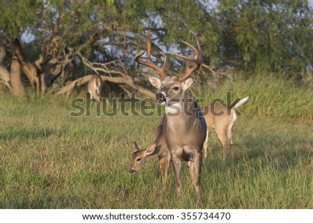 Texas White-tailed Buck