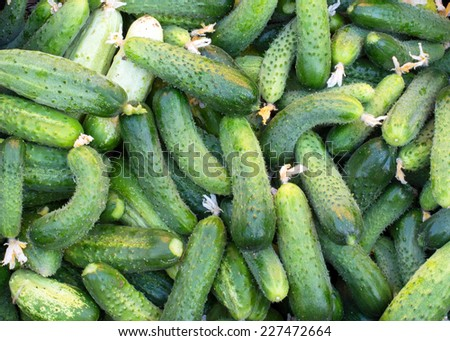 Texture - a large number of ripe, green, fresh cucumbers from the garden