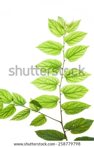 Texture and detail of translucent leaves#2 - stock photo