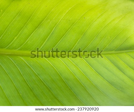 Texture background of backlight fresh green Leaf . - stock photo