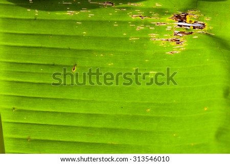 Texture background of backlight fresh green Leaf.