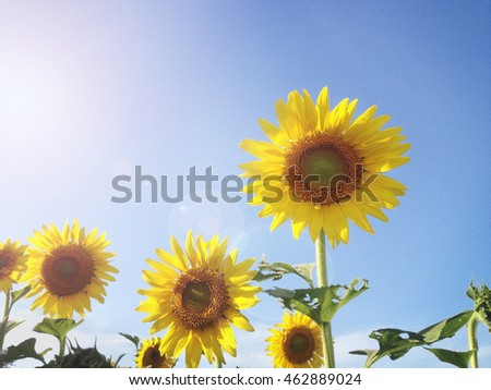 Texture background of sunflower field in sunny day and lense flare for summer nature background, sunflower field under blue sky