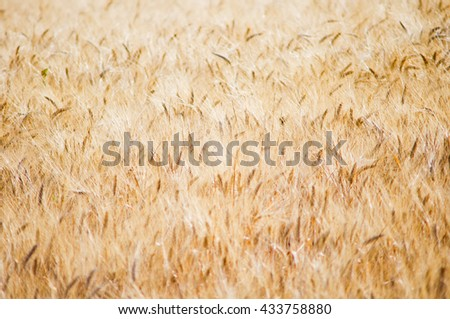 texture of a cornfield