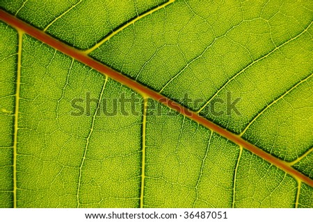 texture of a green leaf can be used as background