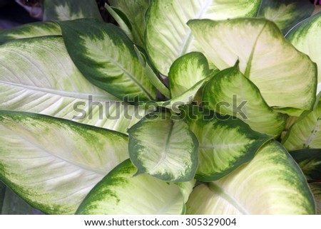 Texture of a tropical green leaf as background  - stock photo
