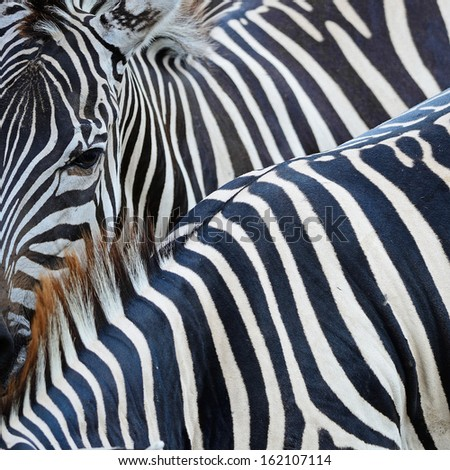 Texture of Common Zebra skin background