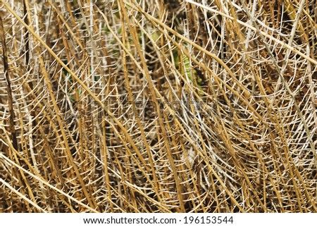 Texture of dry thorns root yellow background - stock photo