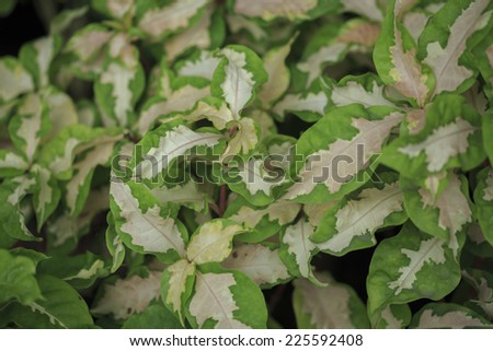 Texture of green leaves / Pseuderanthemum atropurpureum