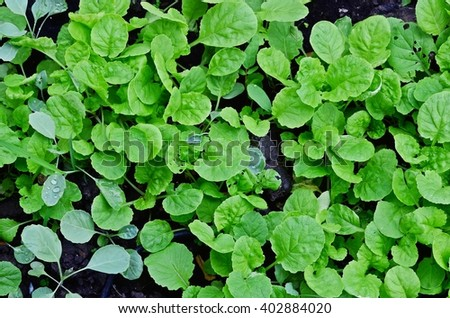 texture of green leaves, salad leaves, young plant, sprout, vegetable garden, vegetable bed, vegetable plot, soil, agriculture, edible plant, backyard garden, home-grown vegetable, organic farm - stock photo
