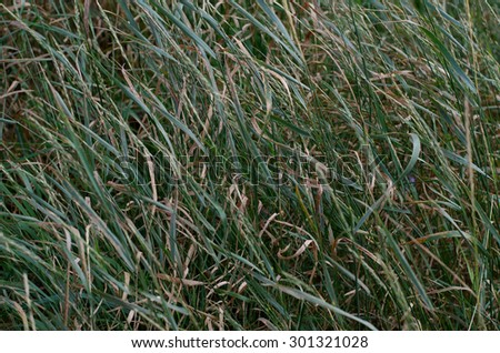 Texture of green summer grass, burned by the sun - stock photo