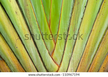 texture of leaf bases a Traveller's palm