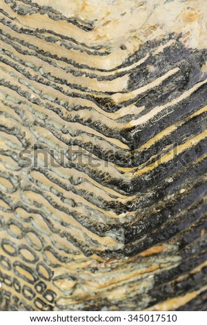 Texture of Mammoth jaw tooth 40,000 years old - stock photo