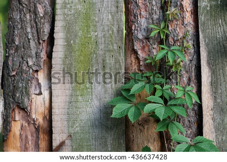 texture of old wooden fence with climbing plants - stock photo
