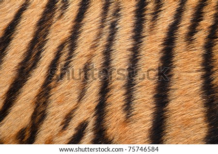 texture of real tiger skin - stock photo