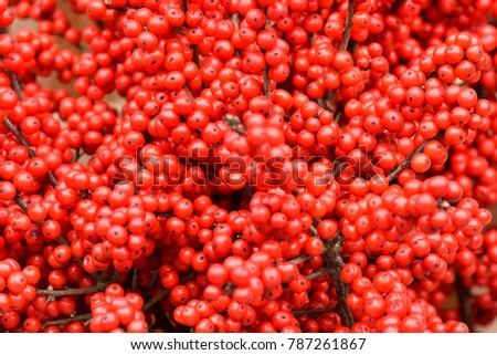 Texture of red berries. Medicinal plants. Red sea buckthorn.
