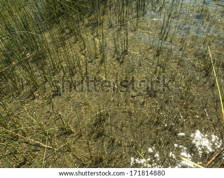 Texture of reeds, juncus. on a coast, margin of a lake with transparent water. Nobody