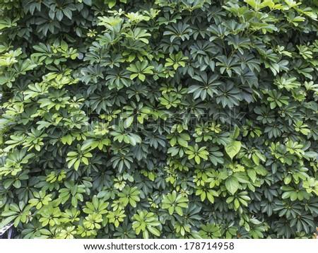 Texture of shrub, Aralia. Nobody. - stock photo