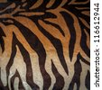 texture of tiger skin - stock photo