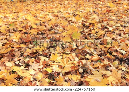 texture of yellow leaves on the ground park maples - stock photo
