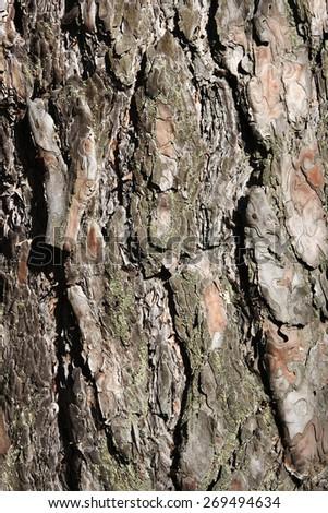 texture Pine bark of tree, background  - stock photo