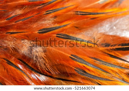 texture rooster feather red