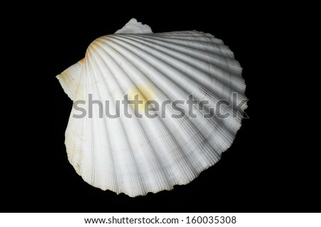 Textured Limestone Sea Shell on a Black Background - stock photo