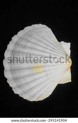 Textured Limestone Sea Shell on a Black Background