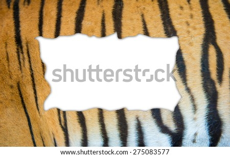 textured of real bengal tiger fur frame on white background